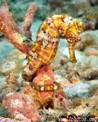 A not so blended in longsnout seahorse. by Zaid Fadul 